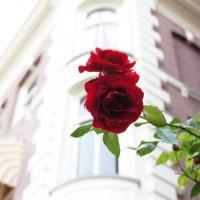Roses on the corner