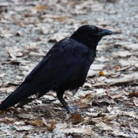 Raven in the park