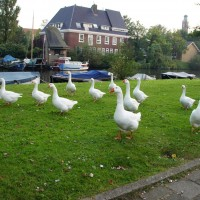 Geese on parade!