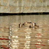 Nile geese with 7 babies