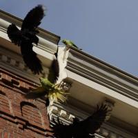 Parakeet vs Kauw