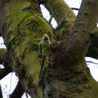 Parakeets in Vondel park