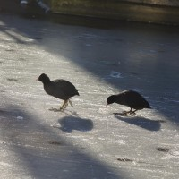 Coots wandering on the ice.