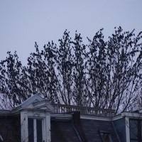Starling mob in a tree.
