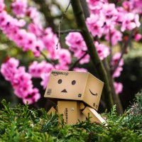 Danbo feels like she is back in Japan, gazing at the beautiful sakura blossoms